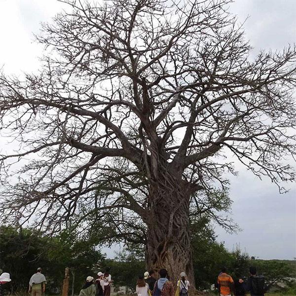 "SFCアフリカ研究会 ""アフリカの森""展示企画"